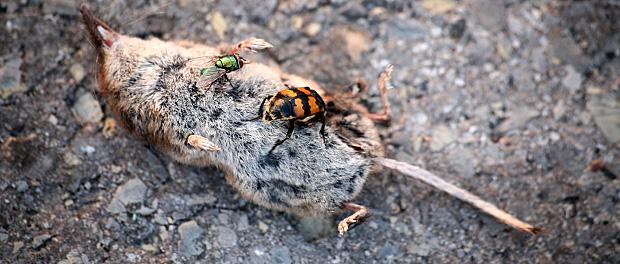 Schwarzfühlerige Totengräber bei der Arbeit | Kuriose Tierwelt