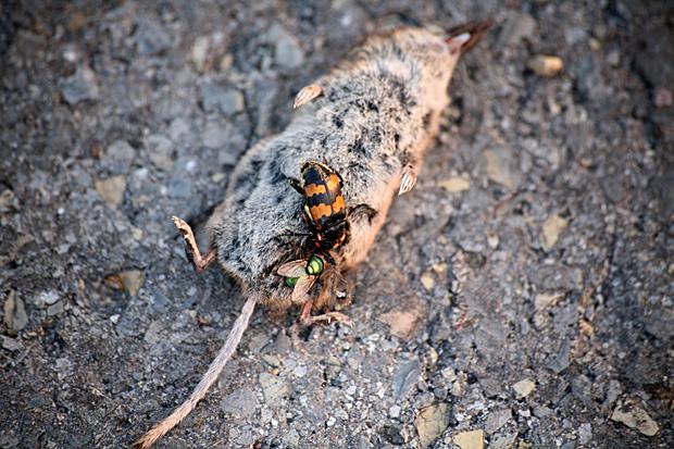 Totengräber und Schmeissfliege auf Spitzmauskadaver - Foto: © Martina Berg