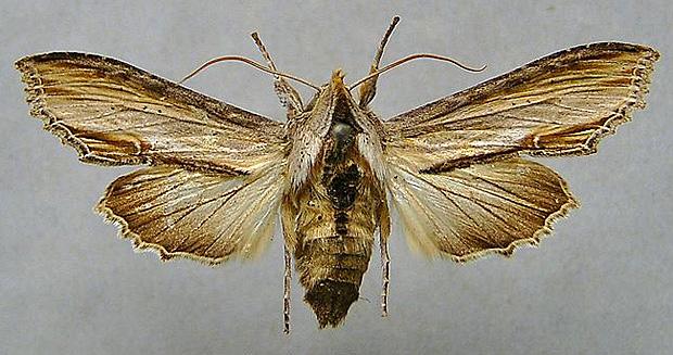 800px-Cucullia_scrophulariae