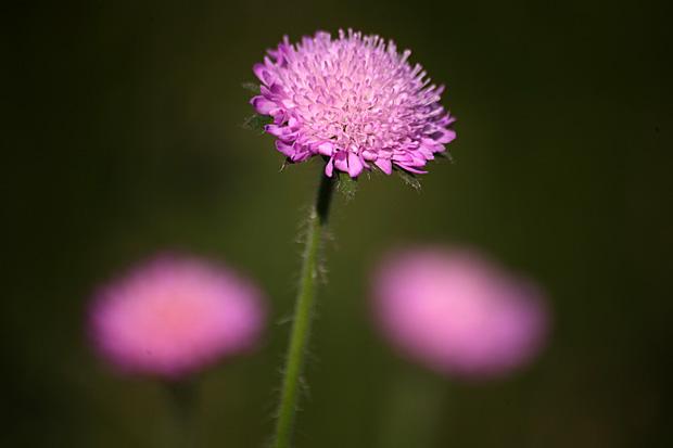 Acker-Witwenblume (Knautia arvensis) - Foto: © Martina Berg