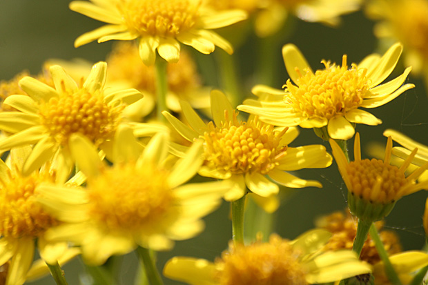Ackerwucherblumen (Chrysanthemum segetum) - Foto: © Martina Berg
