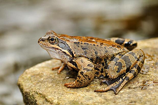 Springfrosch - © Karin Jähne - Fotolia.com