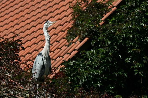 Graureiher auf einem Dach - Foto: © Martina Berg