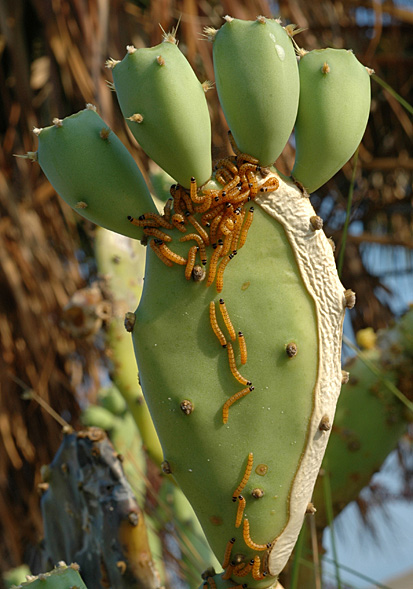 """Larvaefeedingoncacti"" von Ignacio Baez - bugwood.org. Lizenziert unter Public domain über Wikimedia Commons - http://commons.wikimedia.org/wiki/File:Larvaefeedingoncacti.jpg#mediaviewer/File:Larvaefeedingoncacti.jpg"
