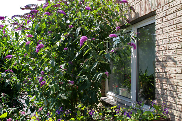 Schmetterlingsflieder vorm Fenster meines Büros