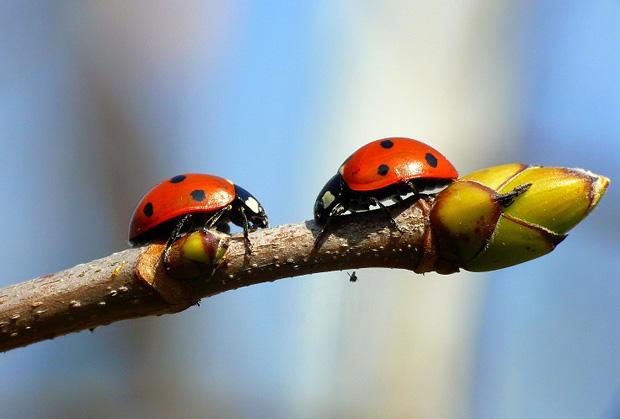 Zwei Marienkäfer auf einem Ast