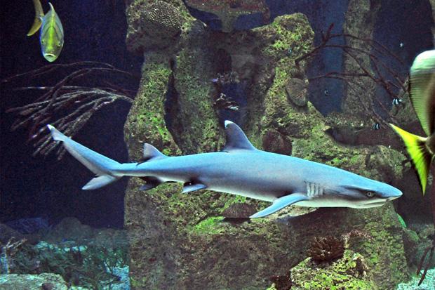 Weißspitzenriffhai: ein Hai, den man oft am Boden liegend sieht
