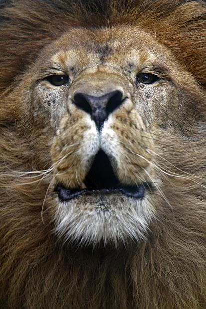 Löwen-Männchen | Foto: © Martina Berg