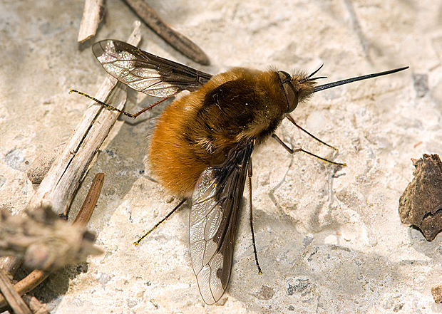 1024px-Grosser_Wollschweber_Bombylius_major