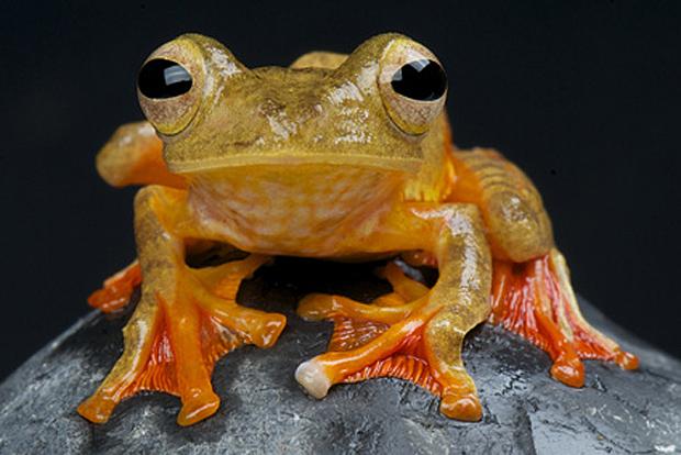 Rhacophorus pardalis, ein schon länger bekannter Flugfrosch - © mgkuijpers - Fotolia.com