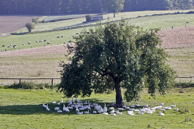 Gänse im Baumschatten auf einer Wiese - Foto: © Martina Berg