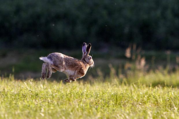 Fliehender Hase - Foto: © Martina Berg