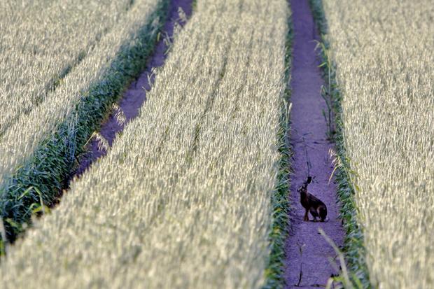 Suchbild: Spur in einem Kornfeld mit Hasen - Foto: © Martina Berg