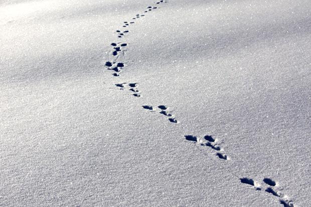 Hasenspur im Schnee - Foto: © Martina Berg