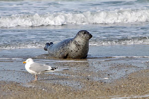 Kogelrobb und Möwe am Strand - Foto: © Martina Berg