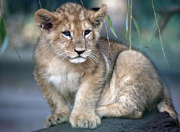 Noch kleiner Vertreter der Großkatzen: ein Mini-Löwe - Foto: © Martina Berg