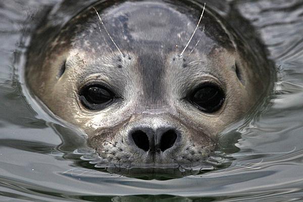 Seehund - Foto: © Martina Berg