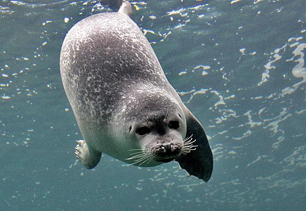 Tauchender Seehund - Foto: © Martina Berg