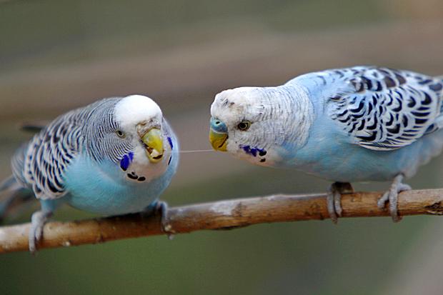 Gleiches Gefieder, unterschiedliche Wachshaut: links das Weibchen, rechts das Männchen - Foto: © Martina Berg