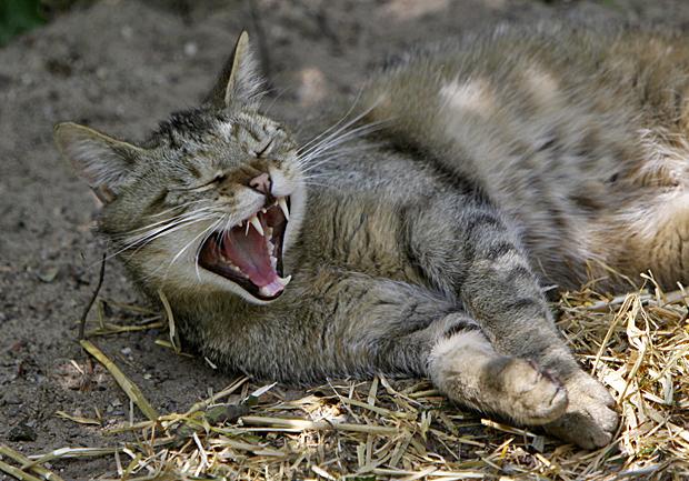 Gähnende Wildkatze - Foto: © Martina Berg