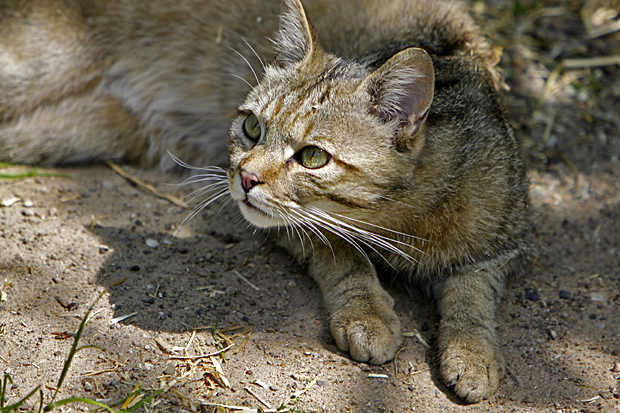 Aufmerksame Wildkatze - Foto: © Martina Berg