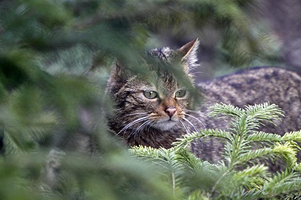 Ein heimlicher Waldbewohner - die Wildkatze - Foto: © Martina Berg