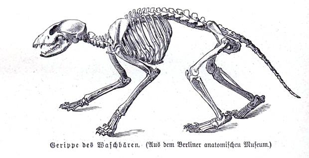 brehm_waschbaer_02