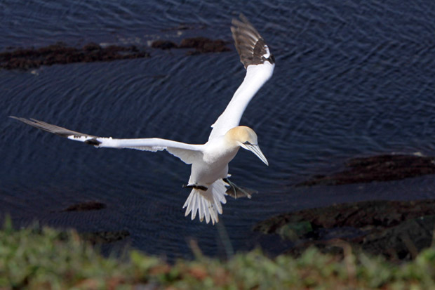 Basstölpel am Vogelfelsen auf Helgoland