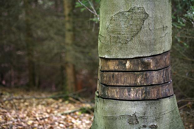 Dieser Baum wird nicht mehr lange leben - Foto: © Martina Berg