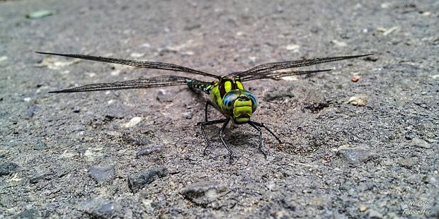 Blaugrüne Mosaikjungfer - Foto: © Nicola Gehrs