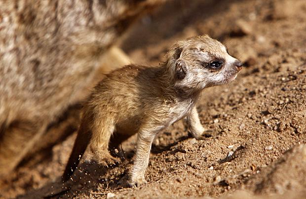 Erdmännchen - Foto: © Martina Berg