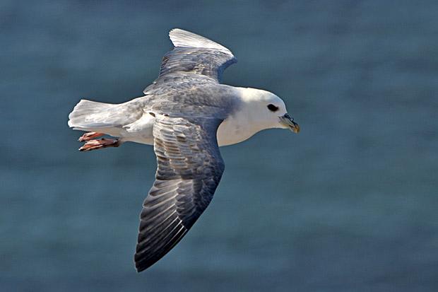 Nordatlantischer Eissturmvogel - Foto: © Martina Berg