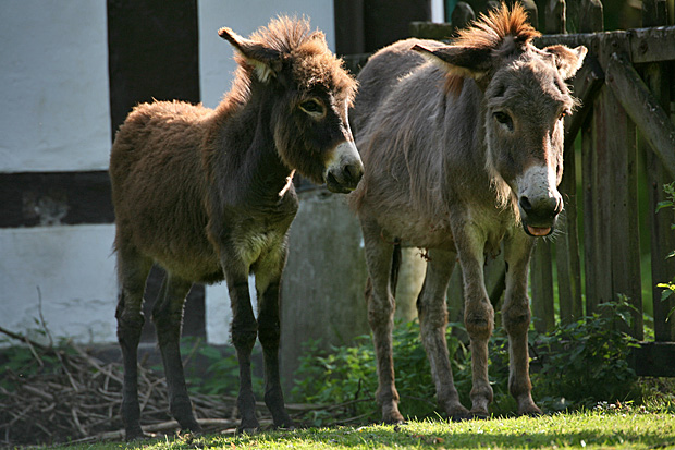 Zwei Esel - Foto: © Martina Berg