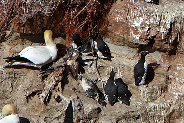 Tote Vögel am Lummenfelsen - Foto: © Martina Berg
