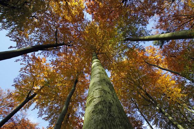 Herbstlicher Buchenwald - Foto: © Martina Berg