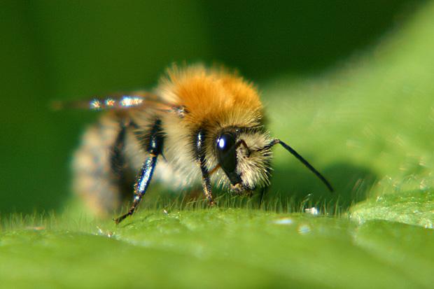 Pelziges Insekt - Foto: © Martina Berg
