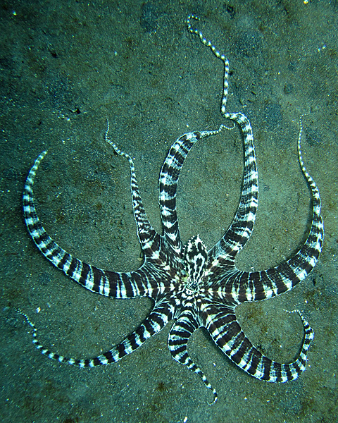 """Mimic Octopus 2"" von Steve Childs - originally posted to Flickr as Mimic Octopus. Lizenziert unter CC BY 2.0 über Wikimedia Commons - http://commons.wikimedia.org/wiki/File:Mimic_Octopus_2.jpg#mediaviewer/File:Mimic_Octopus_2.jpg"