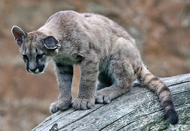 Puma - Foto: © Martina Berg