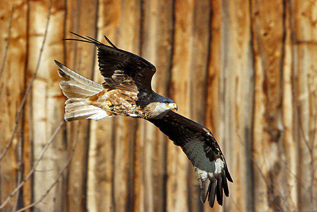 Majestätischer Greifvogel: der Rotmilan - Foto: © Martina Berg