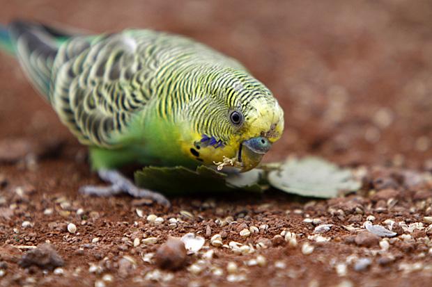 Wellensittich mit grünem Blatt - Foto: © Martina Berg