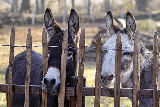 Zwei Esel hinter einem Zaun