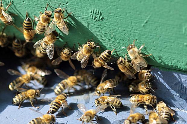 Bienen am Ausflugloch - Foto: © Martina Berg