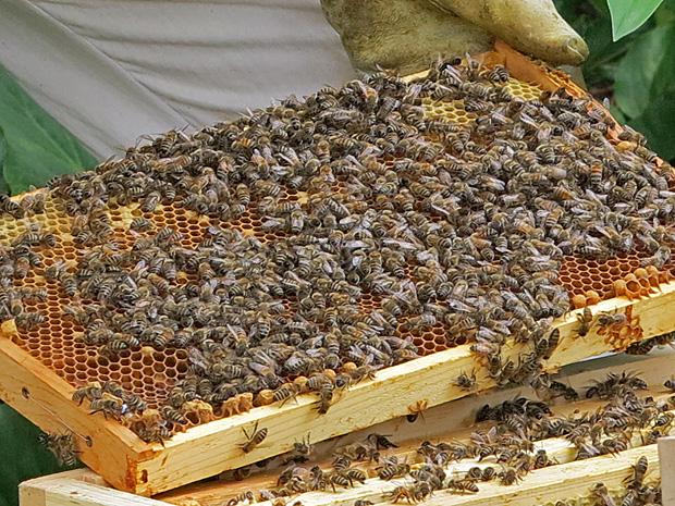 Hier ist der Honig noch in der Wabe - Foto: © Martina Berg