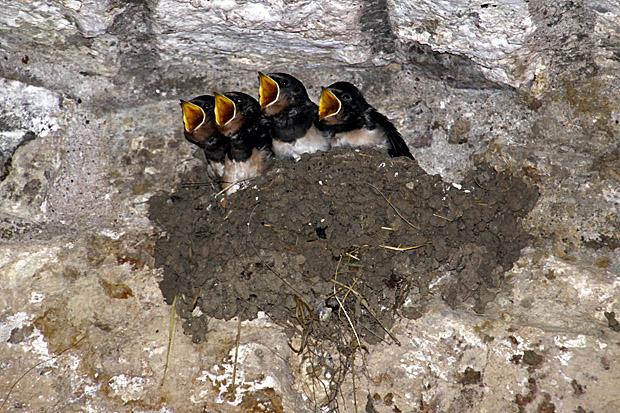 Rauchschwalben-Nest - Foto: © Martina Berg