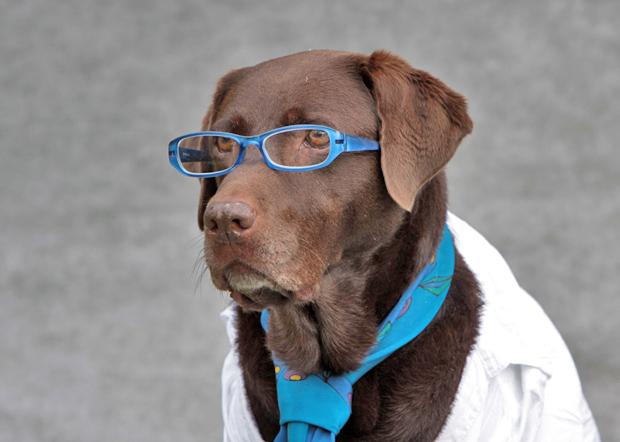 Labrador mit Brille und Krawatte - Foto: © Martina Berg