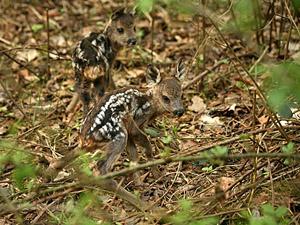 Zwei scheinbar gerade erst geborene Rehkitze (Wildlife - im heimischen Wald fotografiert)
