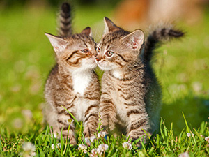 Two little tabby kittens kissing