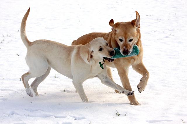 Zwei spielende Labrador Retriever im Schnee - Foto: © Martina Berg