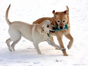 Zwei spielende Labrador Retriever im Schnee
